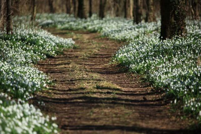 Alcsúti-hóvirágmező2